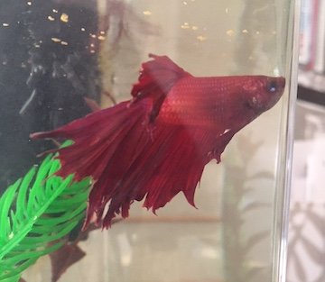 Red Fancy Betta Fish swimming to the right