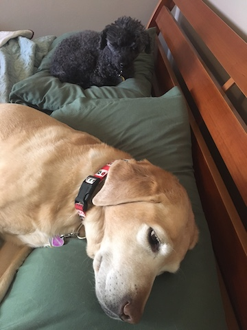 White faced yellow lab laying on a green pillow with a black poodle curled up on a second green pillow behind the lab