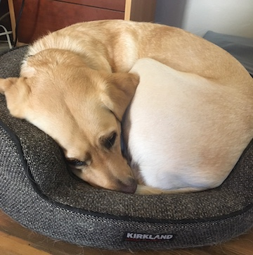 Yellow Lab curled in a tight ball in a small round dog bed